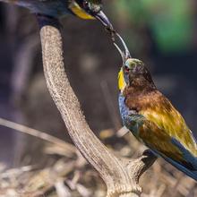 Diorama de abejarucos (Merops apiaster)