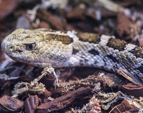 serpiente cascabel (Crotalus ravus)