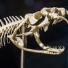 Cráneo de Bitis gabonica